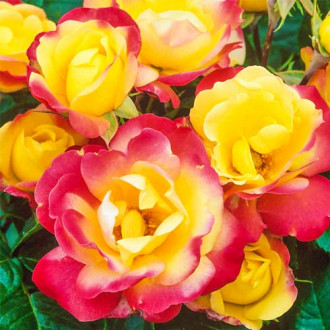 Троянда флорібунда Маскарад зображення 8