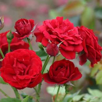 Роза флорибунда Нина Вейбул рисунок 7