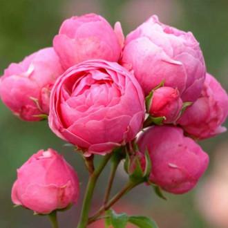 Троянда флорібунда Помпонелла зображення 3