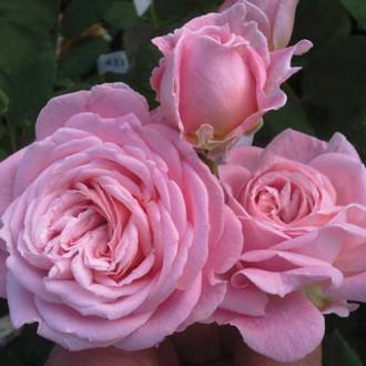 Роза флорибунда Саммер Романс рисунок 2