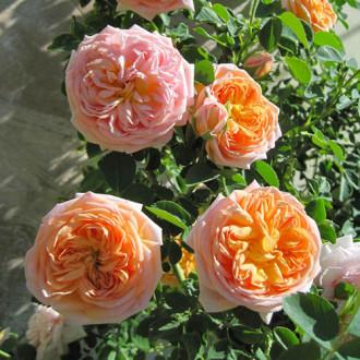 Троянда плетиста Алхіміст зображення 3
