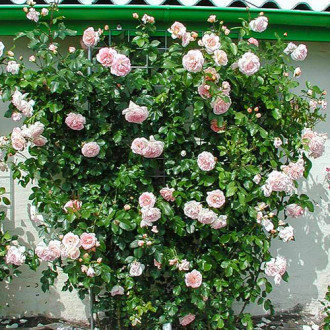 Троянда плетиста Амаретто зображення 8