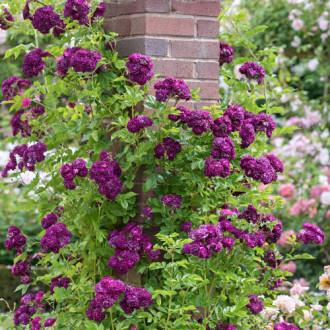 Троянда плетиста Блю Маджента зображення 1