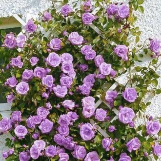 Троянда плетиста Блю Мунн зображення 2