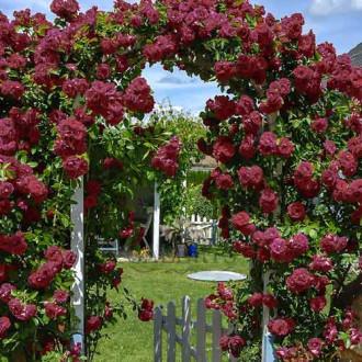 Троянда плетиста Чорний принц зображення 2