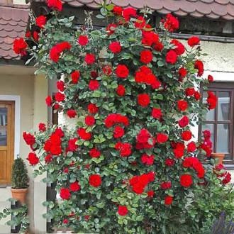 Роза плетистая Девичьи грезы рисунок 5