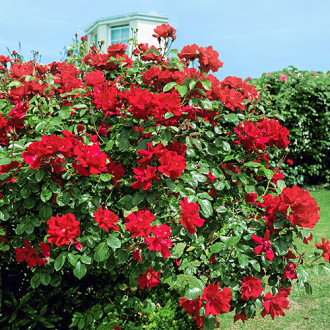 Троянда плетиста Дон Жуан зображення 3