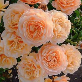Троянда плетиста Апрікот Скай зображення 5