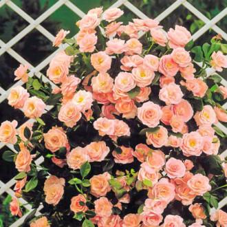 Троянда плетиста Глорія Клаймінг зображення 7