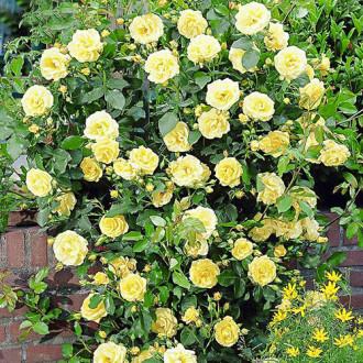 Троянда плетиста Голден Шауерс зображення 8