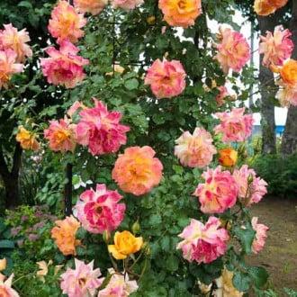 Роза плетистая Импрессионист рисунок 8