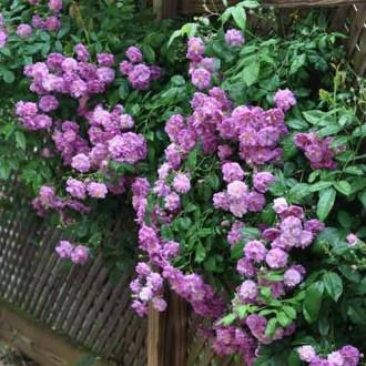 Роза плетистая Индиголетта рисунок 2