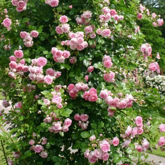 Роза плетистая Жасмина рисунок 1