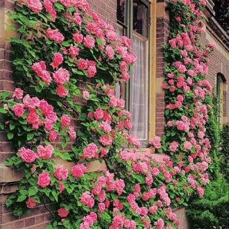 Троянда плетиста Корал Доун зображення 5