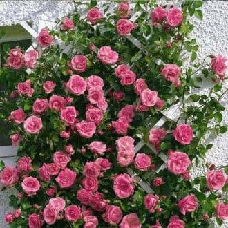 Роза плетистая Лавиния рисунок 2