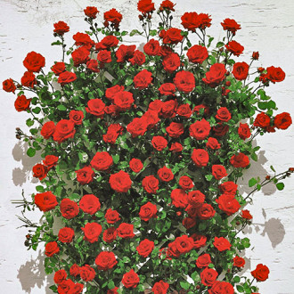 Троянда плетиста Мушимара зображення 4