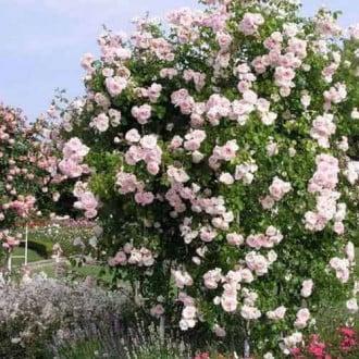 Троянда плетиста Нью Доун зображення 5