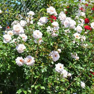 Троянда плетиста Пенні Лейн зображення 7
