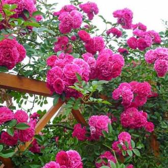 Троянда плетиста Пінк Мушимара зображення 3