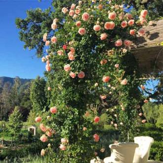 Роза плетистая Полька рисунок 7
