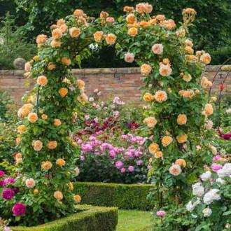 Троянда плетиста Принцеса Маргарет зображення 5