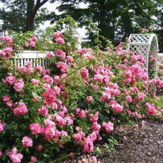 Троянда плетиста Ріна Хернольд зображення 8