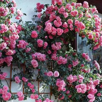 Троянда плетиста Рожева перлина зображення 6