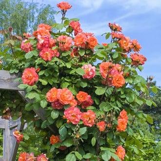 Роза плетистая Вестерленд рисунок 6