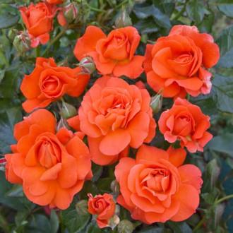 Троянда спрей Алегрія зображення 6