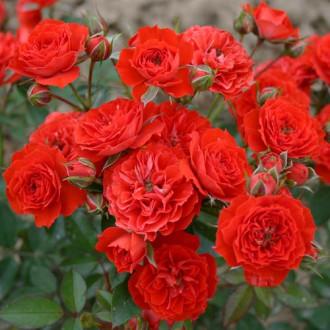 Троянда спрей Ред Мікадо зображення 7