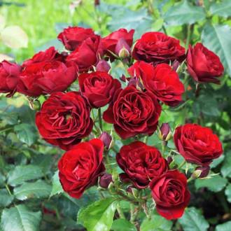 Троянда спрей Ред Сенсейшн зображення 1