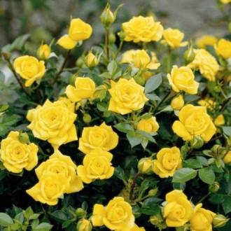 Троянда спрей Сан Сіті зображення 6