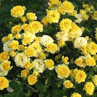 Роза спрей Санторини рисунок 4