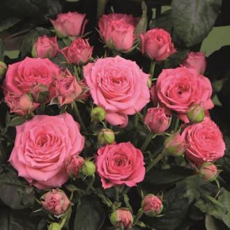 Троянда спрей Вікторія зображення 3