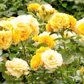 Троянда флорібунда Артур Белл зображення 1