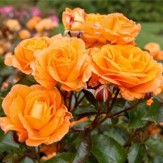 Роза флорибунда Оранж Сенсейшн рисунок 8
