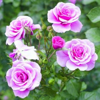 Троянда флорібунда Пінк Діадем зображення 8