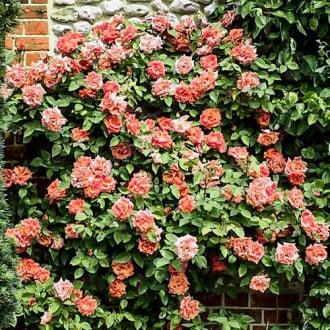 Троянда плетиста Алоха зображення 8