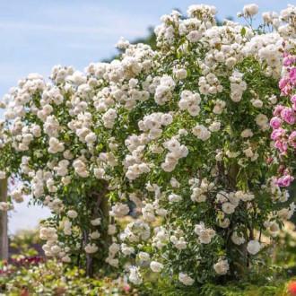 Троянда плетиста Айсберг зображення 8