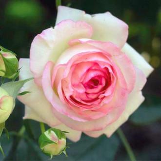 Роза чайно-гибридная Дольче Вита рисунок 3