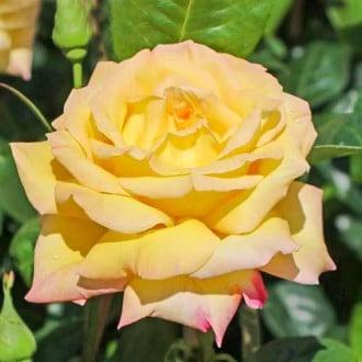 Троянда чайно-гібридна Глорія Дей зображення 1