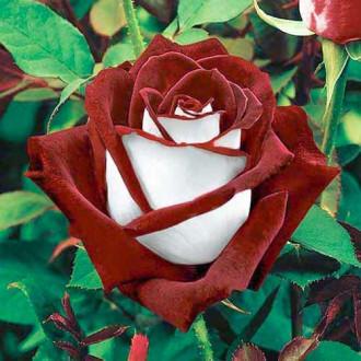 Троянда чайно-гібридна Осирія зображення 5