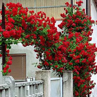 Троянда плетиста Червона зображення 3