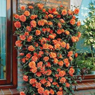 Троянда плетиста Помаранчева зображення 3