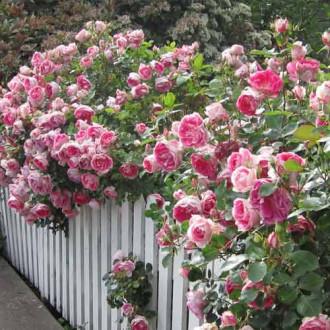 Роза плетистая Розовая рисунок 6