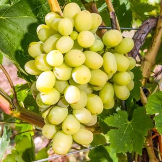 Виноград Макси белый рисунок 5