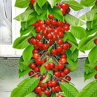 Черешня колоновидная красная рисунок 4