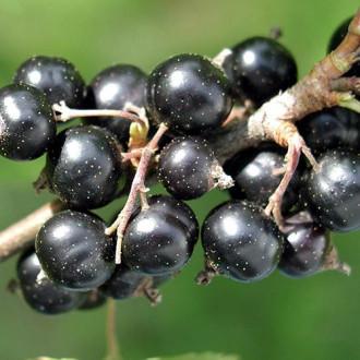 Смородина чорна Санюта зображення 4