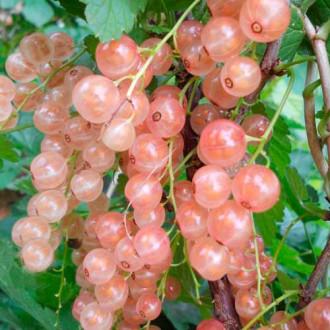 Порічки рожеві Рожеві перли зображення 3
