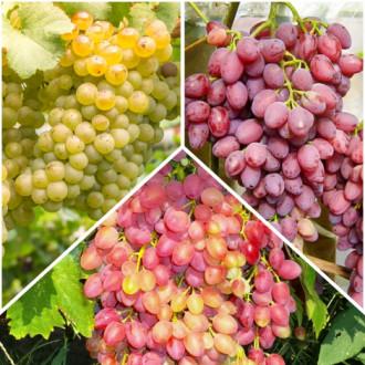 Суперпредложение! Комплект бессемянного винограда из 3 сортов рисунок 4
